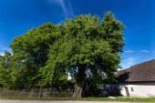 Hrušeň v Dolní Radouni - památný strom