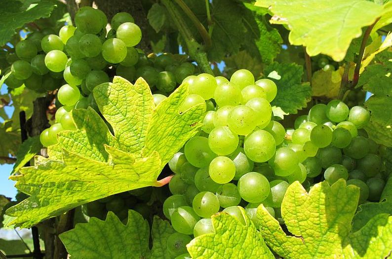 Hroznové víno na vinici mezi Klentnicí a Pavlovem, okres Břeclav - wikipedia commons - autor: Huhulenik