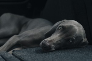 pes veterina dog-1031058_1280