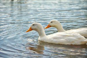 ducks-889211_1280 kachna kachny drůbež pták