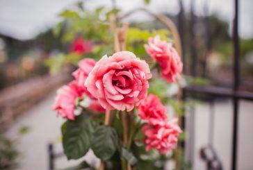 Dny růží v Zahradním centru