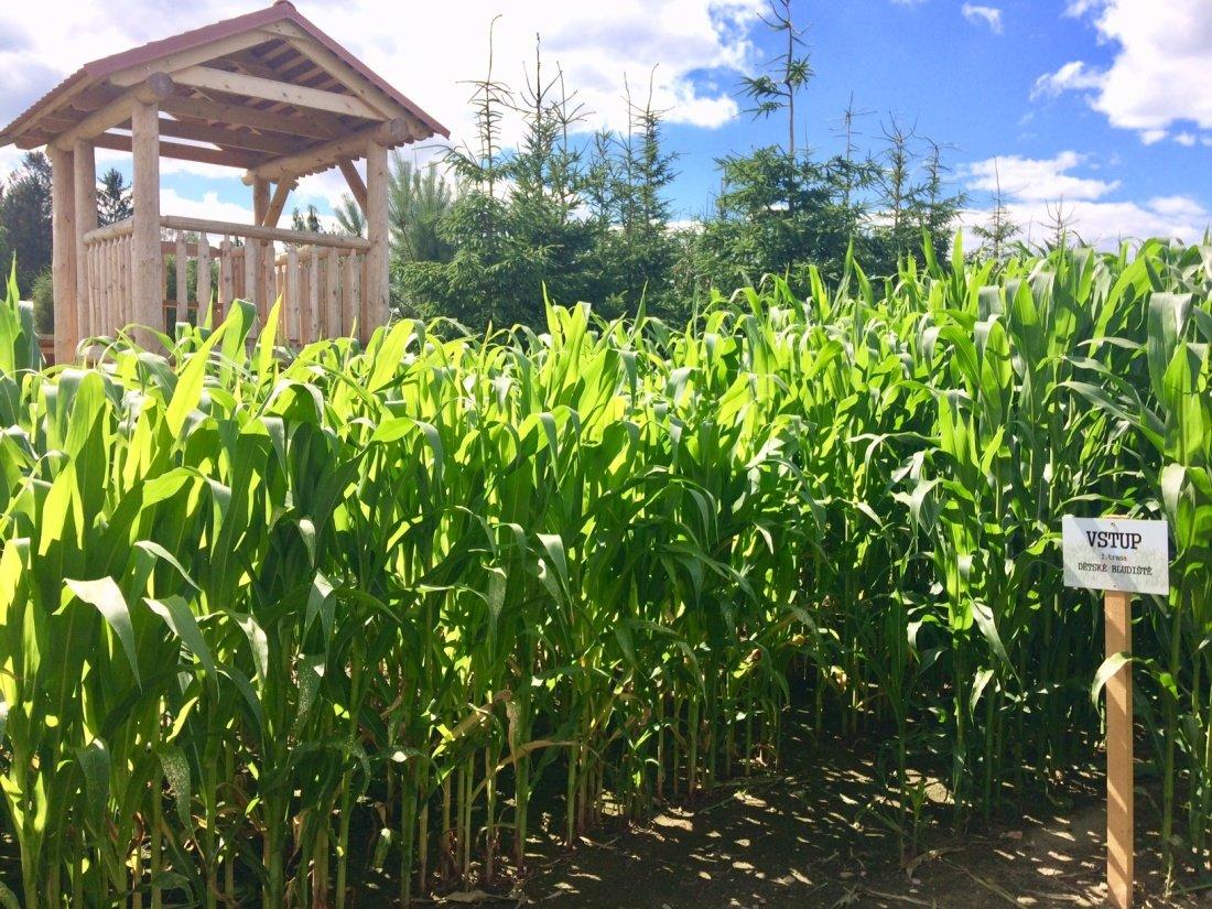Léto v kukuřici v Roseči začíná 29. června