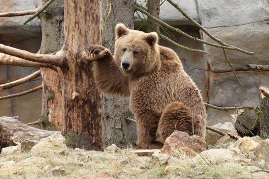 Zoo Hluboká bude vánočně nasvícena-medved_plavy_-_Jerhotova_032a